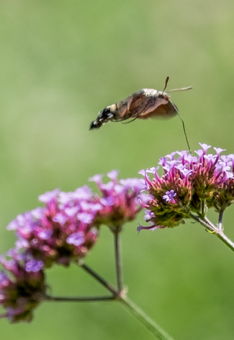 Parco Sigurtà – Farfalla Sfinge